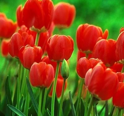 Tulipa Darwin Hybrid  Oxford – planted in Forman Park